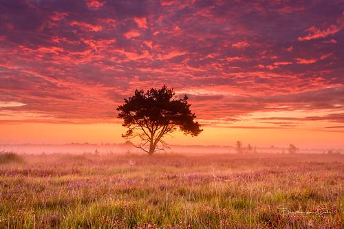 zonsopkomst natuur color nature mist boom kalmthoutseheide kalmthout tree clouds sunrise kleur purple outdoor lucht landschap augustus belgium heide landscape sky fog heather 2019 wolken field antwerpen belgië