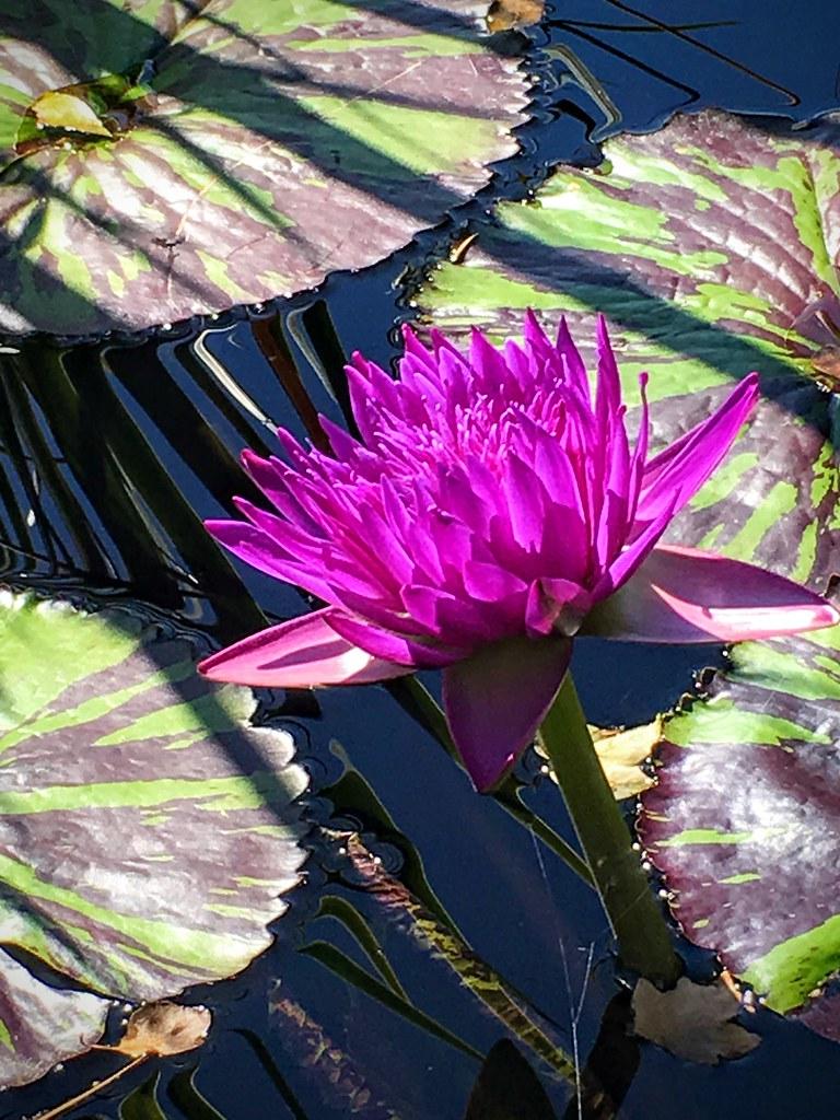 Luminous Purple Water Lily