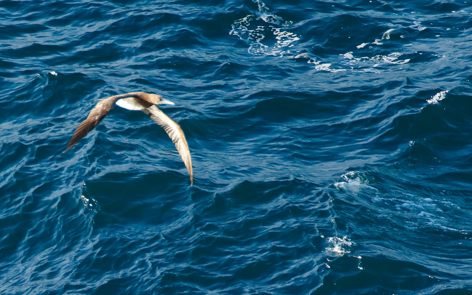 Brown Booby- 1st summer