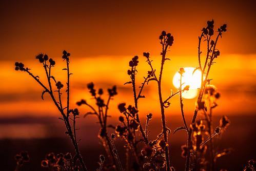 tistel sun summer plintsberg thistles canonef100400mmf4556lisiiusm sweden sverige sunset sky outdoor dalarna canoneosr solnedgång nordiclight dalarnaslän