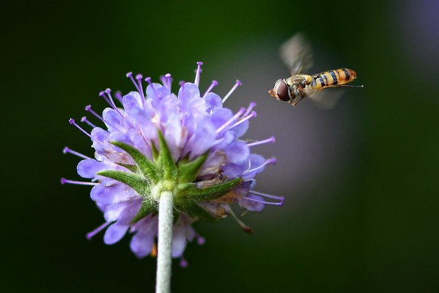 Marmalade Hoverfly zooming in on the Devil's Bit Scaboius