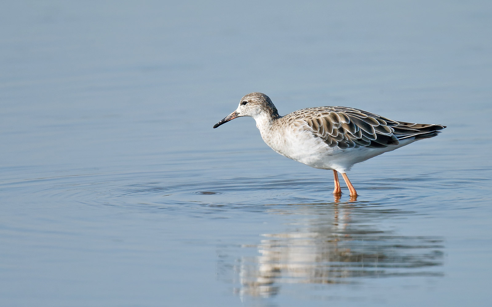 Ruff - male in winter plumage
