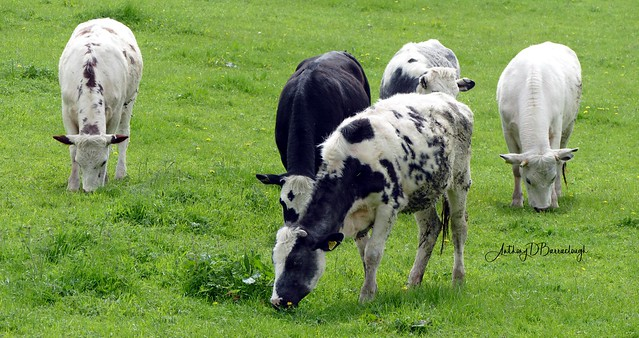 Des Vaches 833a-1