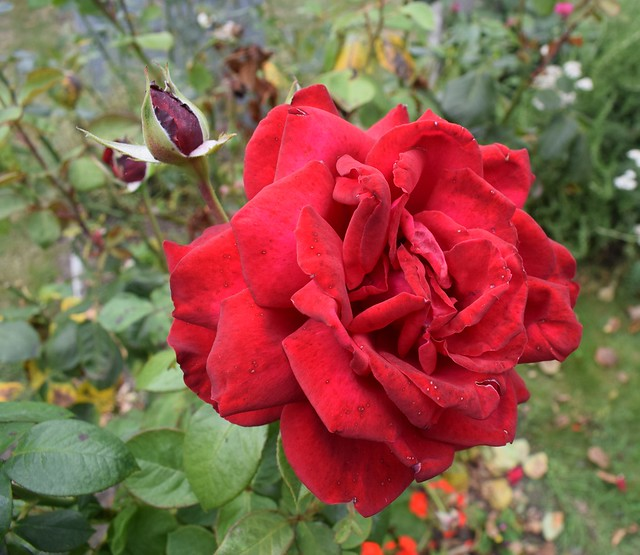 A rather worn red rose.