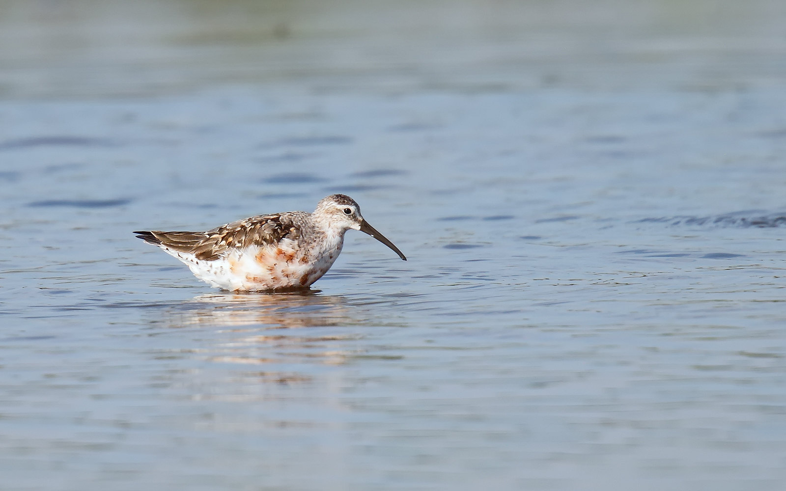 Curlew Sandpiper - moulting adult