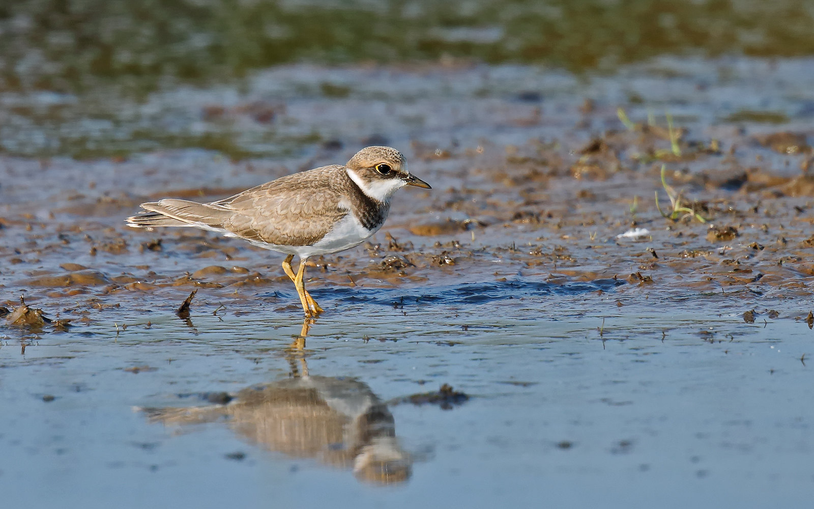 Little Ringed Plover - Juvenile