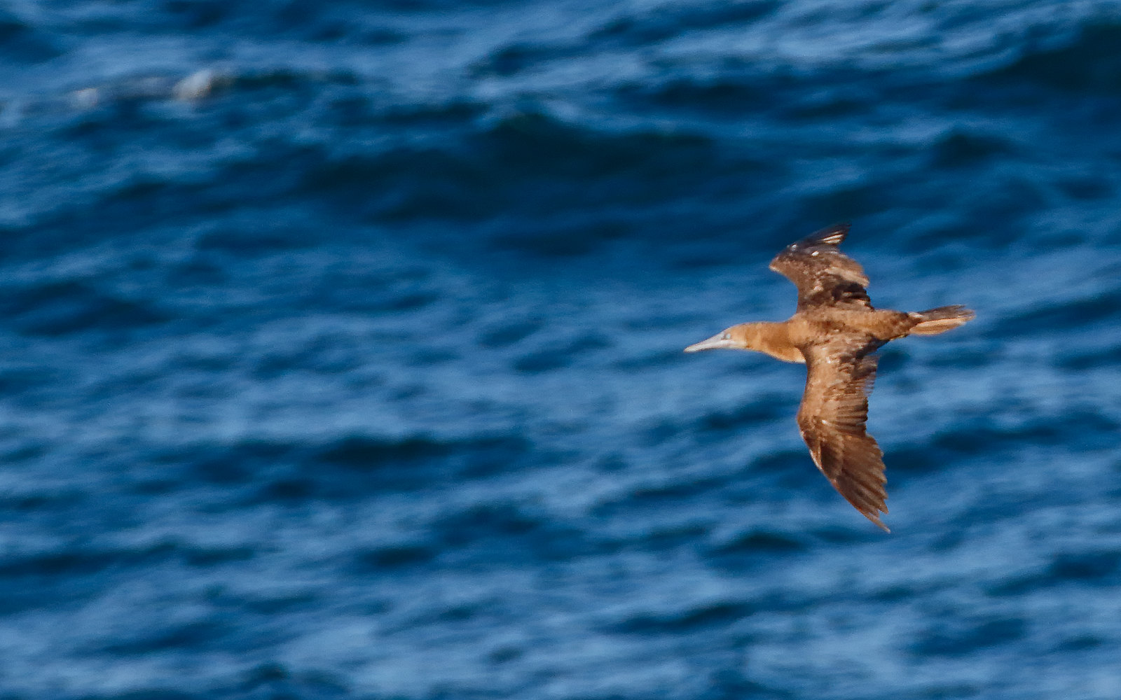 Brown Booby - 1st summer