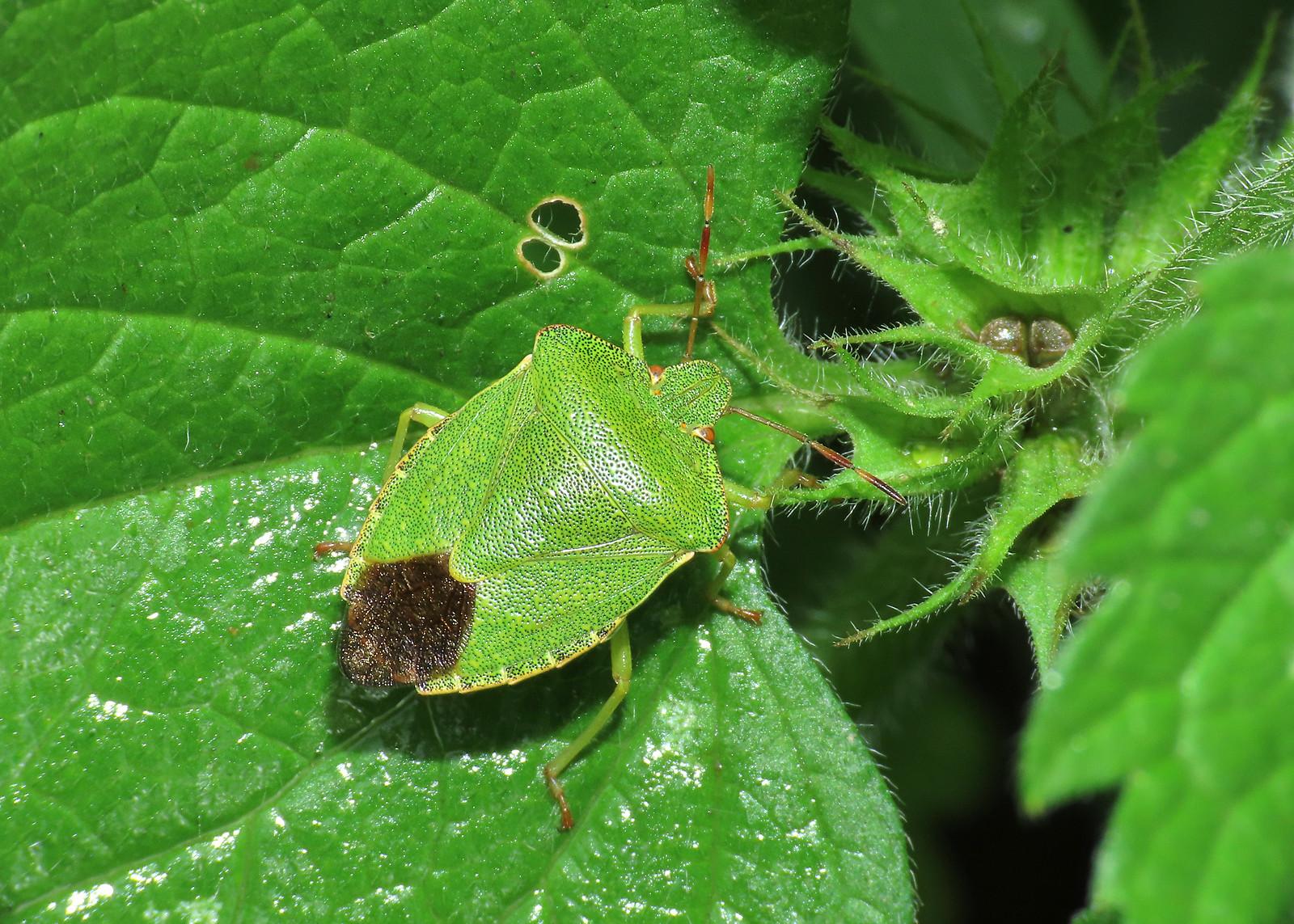 Green Shieldbug - Palomena prasina