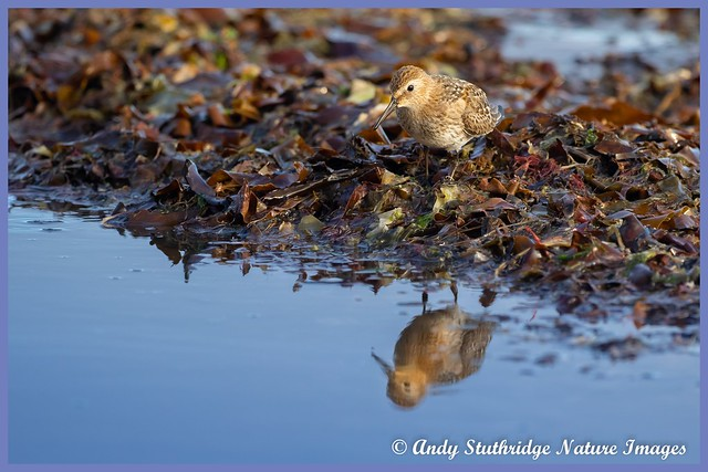 Dunlin Reflected
