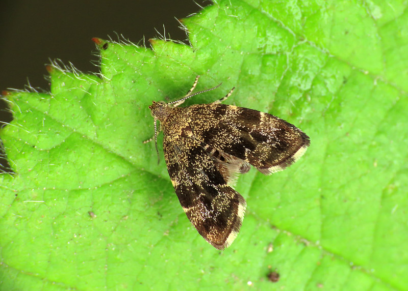 48.001 Common Nettle-tap - Anthophila fabriciana