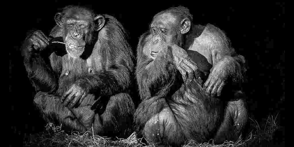 reconnaissance-faciale-chimpanzés