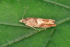 49.248 Nut Bud Moth - Epinotia tenerana