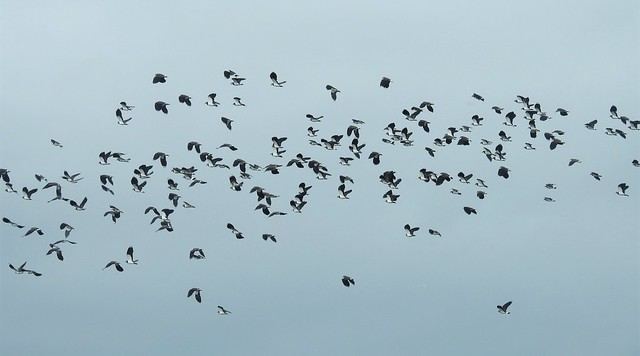 A 'Deceit' of Lapwings In Flight