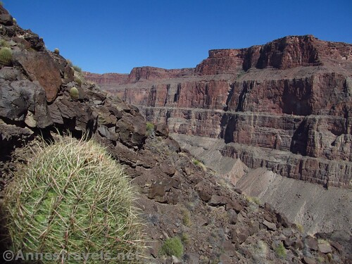 Barrel cactus along the Lava Falls Route into the Grand Canyon, Arizona