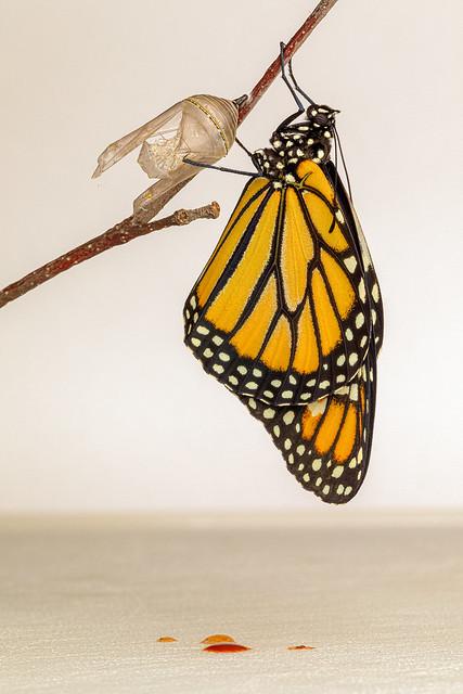 Monarch_side_1-2.jpg