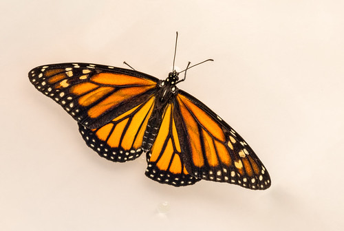 Monarch_top_2.jpg