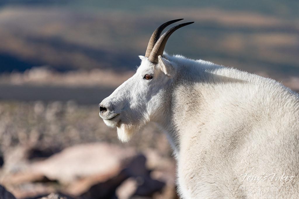 Portrait of a mountain goat billy