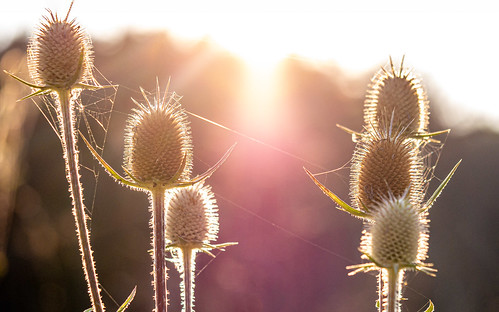 365picturesin2019 bokeh bokehlicious defuselight earlymorning everydayphotographer g85 lumix macro micro43 pad2019247 pictureoftheday potd2019 project365 sun sunrise teasel upclose pittsfield massachusetts unitedstatesofamerica