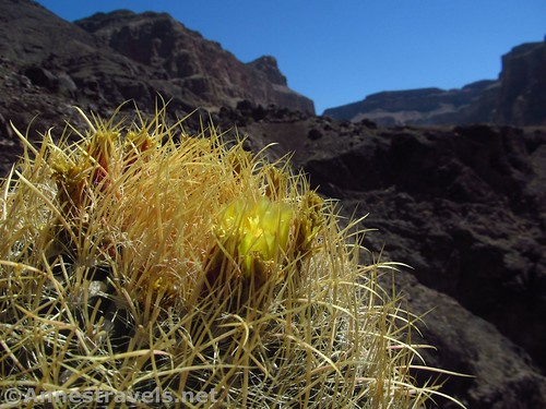 A blooming barrel cactus along the Lava Falls Route in Grand Canyon National Park, Arizona