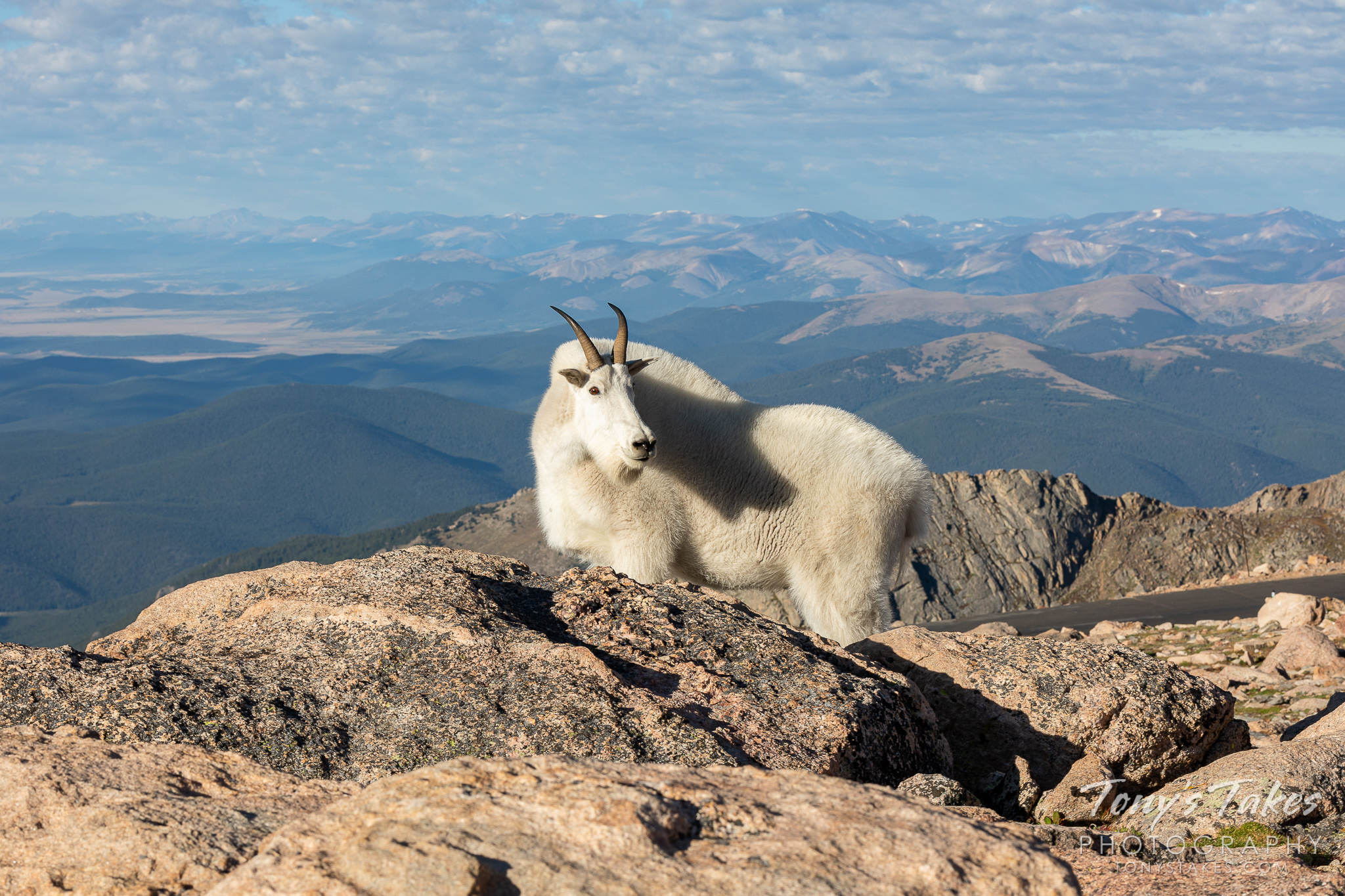 A mountain goat billy poses near the summit of Mount Evans in Colorado. (© Tony's Takes)