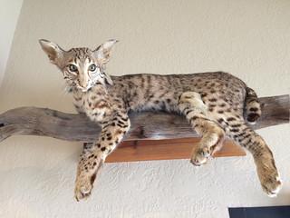 Stuffed Bobcat (taxidermy)