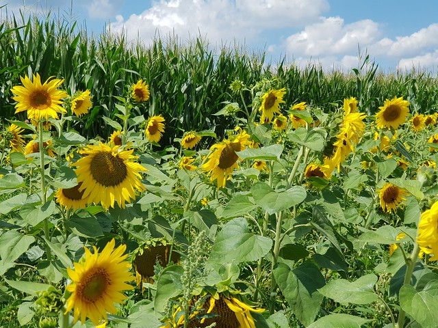 Sommer im Unteren Illertal - Summer in the Lower Illertal - L'été dans l'Illertal inférieur
