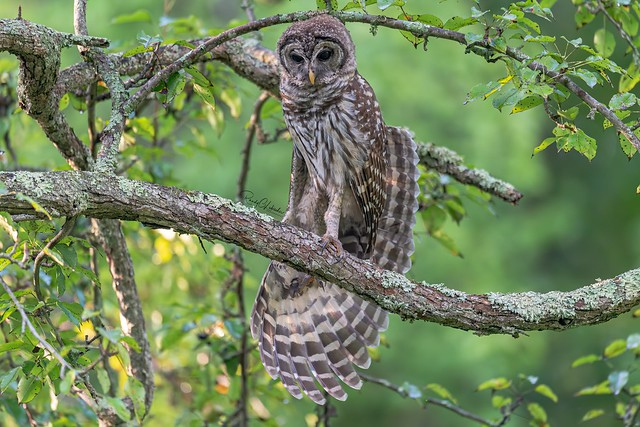 Barred Owl - Strix varia | 2019 - 29