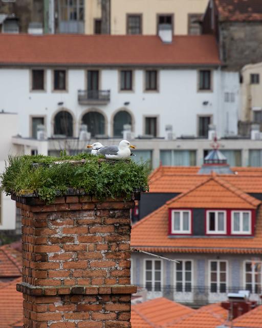 Nesting in Porto