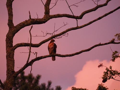 m43 olympus 75300 em10ii hawk sunset redtail