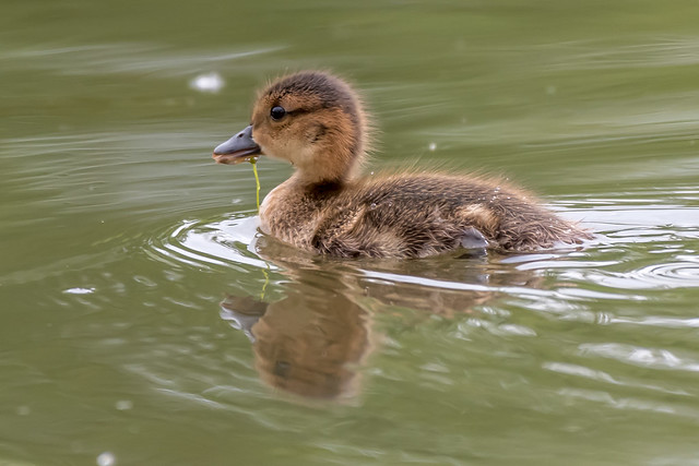 American Wigeon duckling