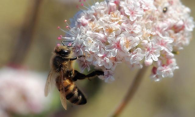 Honey bee on buckwheat