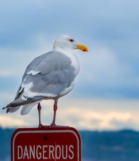Dangerous Sea Gull