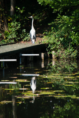 Sunbathing heron, with reflection