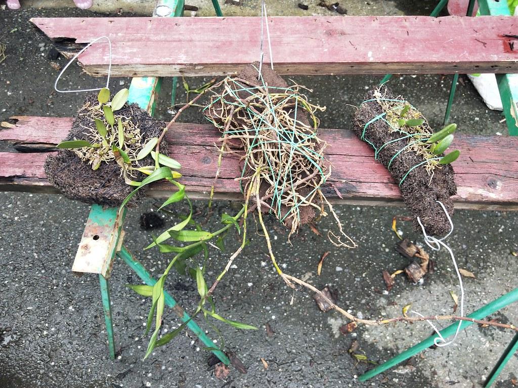 網路販售瀕危植物「小垂枝石松」 男子送辦