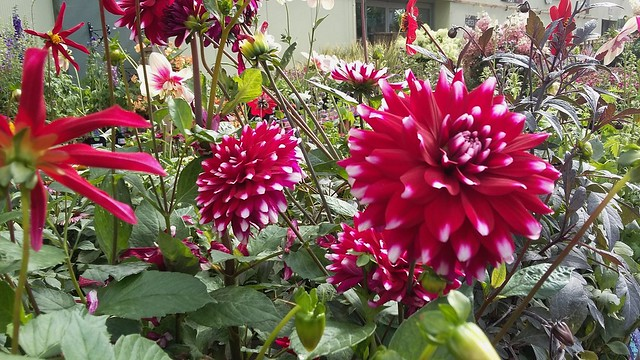 Dahlia's, Howdens Garden Centre, Inverness, Aug 2019
