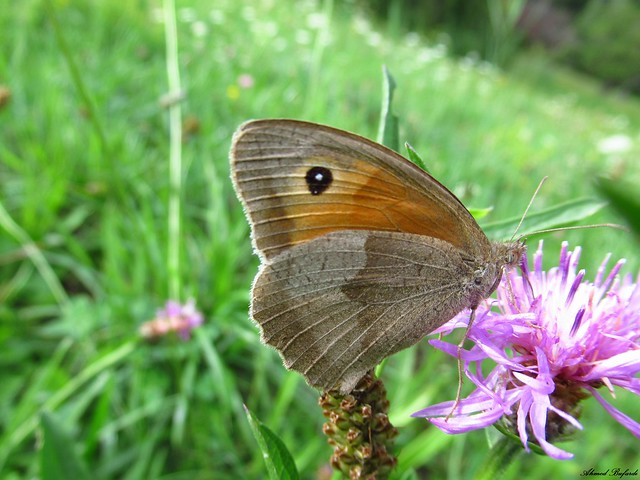 Butterfly 1854 (Maniola jurtina)