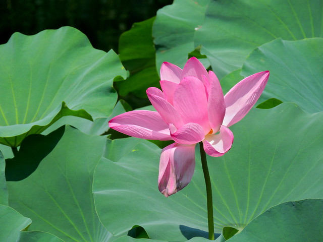 Pink lotus flower of Yuyuan Chinese garden, Shanghai,  China