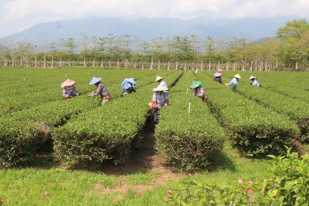 茶改場臺東分場的友善耕作茶園示範區,吸引許多野生動物駐足。