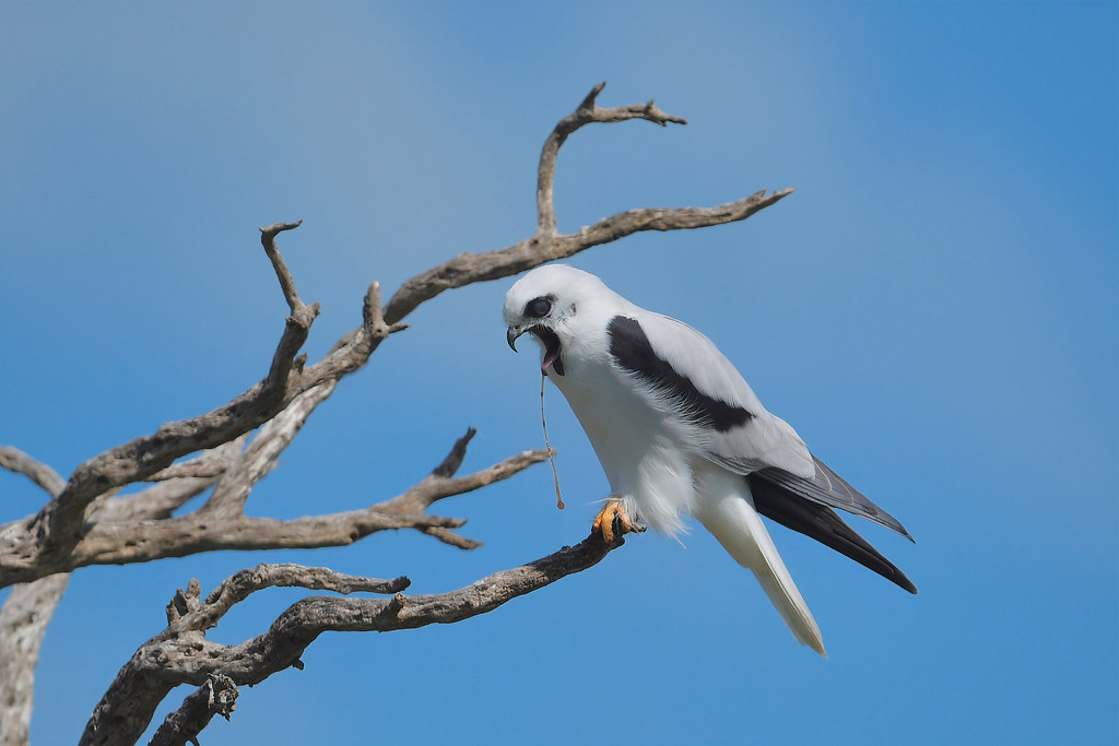 Black-shouldered Kite: The Mouse bits John West Rejects