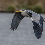 DSC0151  Grey Heron...