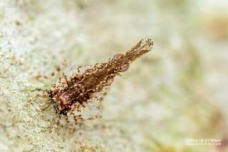 Planthopper nymph (Dictyopharidae) - DSC_7848
