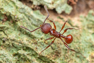 Ant (Pristomyrmex sp.) - DSC_7672