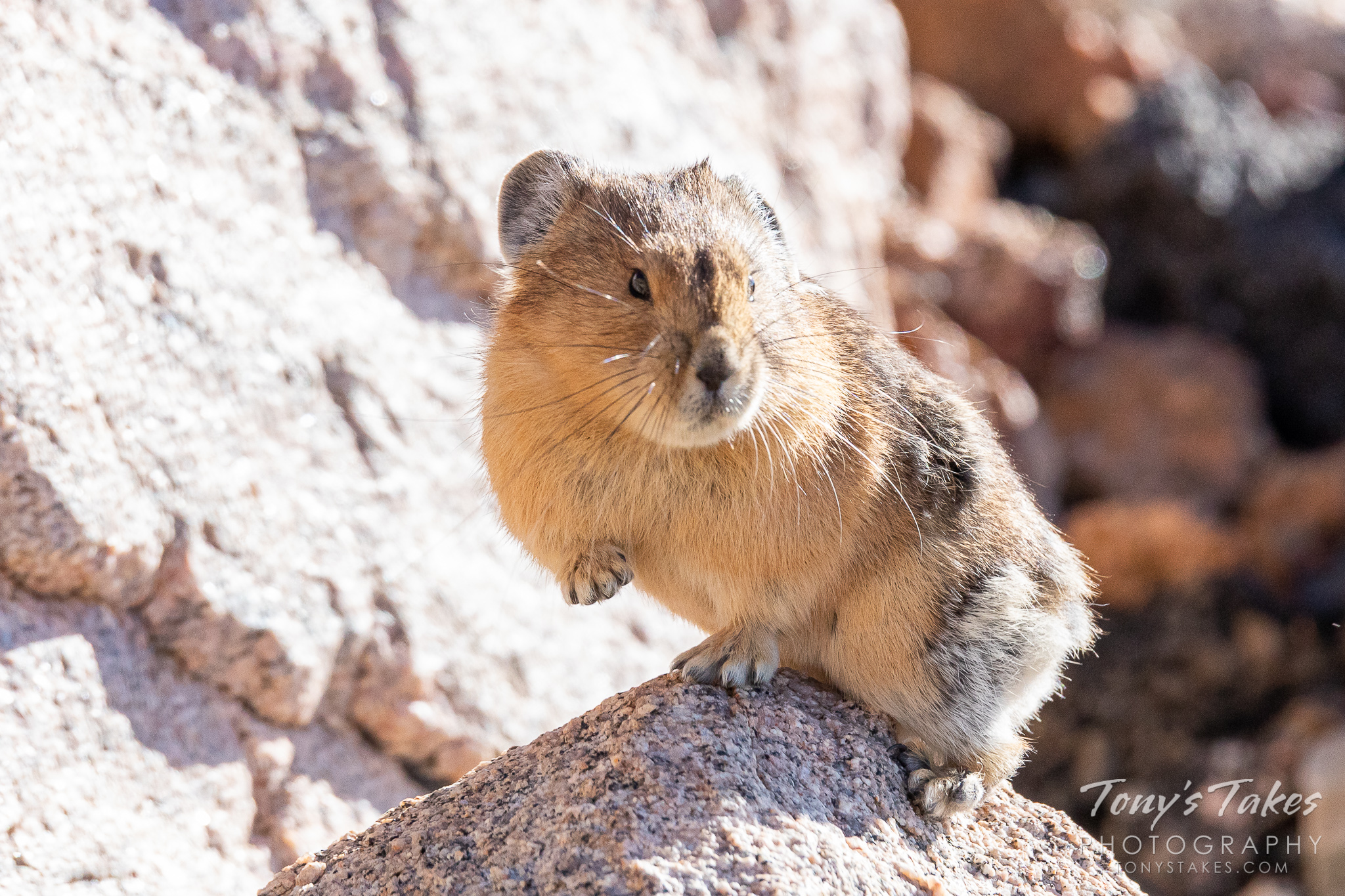 An American pika near the top of Mount Evans in Colorado. (© Tony's Takes)
