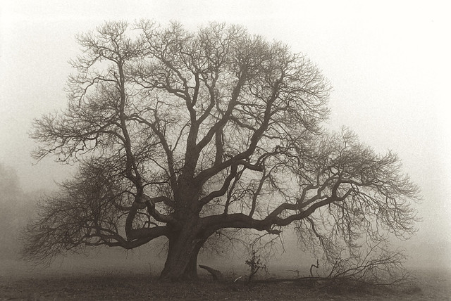 The old chestnut tree