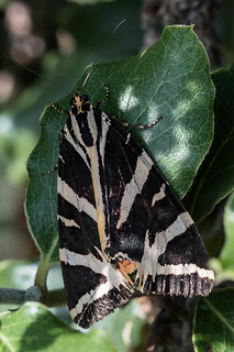 Jersey Tiger - upperwing