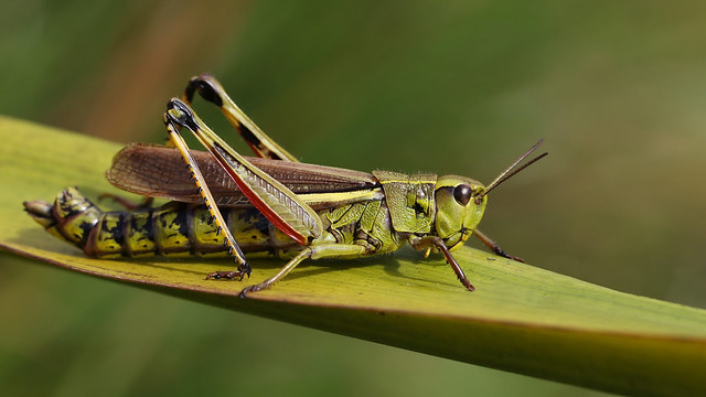 Large Marsh Grasshopper ~ Stethophyma grossum {explored}