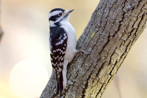 Downy Woodpecker (Picoides pubescens) at Sunrise, New Haven, Connecticut