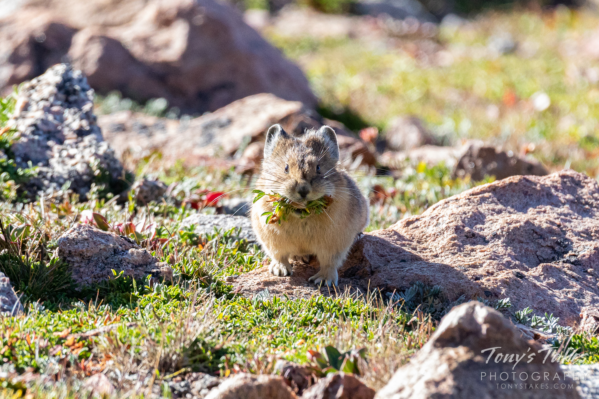 An American pika gathers a mouthful of food on Mount Evans, Colorado. (© Tony's Takes)