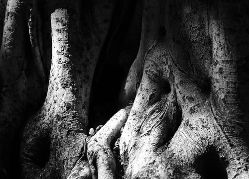 Banyan tree in light and shadow
