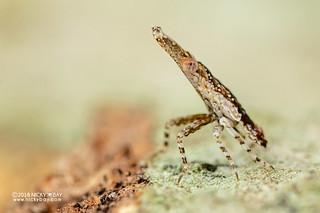 Planthopper nymph (Dictyopharidae) - DSC_7858